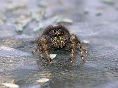 spider2 (cmccab01) Tags: spider utah fangs jumpingspider