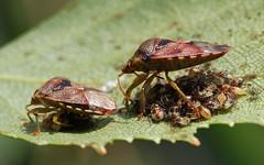 Parent Bugs parenting (nutmeg66) Tags: garden young july bugs silverbirch shieldbug behaviour elasmuchagrisea parentbug 2013