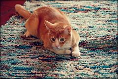 Kaboodle (K. Sawyer Photography) Tags: animal cat rug