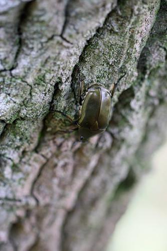 自然環境保全センターのカナブン(Beetle, Nature Environment Preservation Center, Kanagawa, Japan)