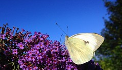 "large white butterfly • <a style=""font-size:0.8em;"" href=""http://www.flickr.com/photos/57024565@N00/9461303954/"" target=""_blank"">View on Flickr</a>"