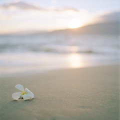 the end of day on a far away shore (after october) Tags: ocean sunset flower film beach mediumformat hawaii coast pacific plumeria maui shore tropical bloom hasselblad500cm