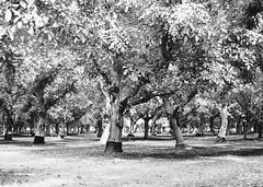 Walnut Orchard (HeyMoira) Tags: walnut orchard wheatland vsco