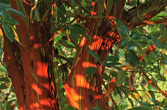 Madrona (AVWAR BnB) Tags: tree home bark madrona ours avwarbnb