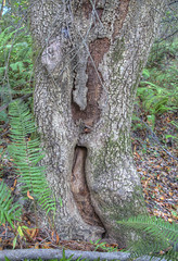 _KEO1549_50_51_52_53_ Old Man in the Tree (misterken) Tags: morninglight backyard pentax tamron eveninglight wildcatcanyon urbanwilderness dijemry misterken 130824 justpentaxphotomatixhdrdijemrymisterken
