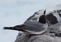 South America - The Galapagos (Ray Swann) Tags: blue birds america pair south flight wave galapagos mating albatross booby nazca footed