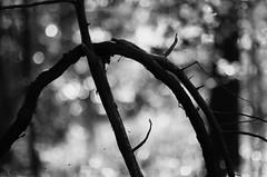 runes (furrycelt) Tags: trees blackandwhite sunlight nature monochrome nc vines nikon natural bokeh branches 85mm northcarolina twigs runes jordanlake 2013 nikon85mmf14 nikon85mmf14afd d7000 lensblr
