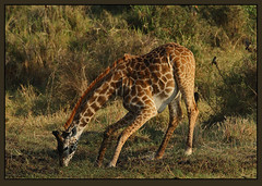 Thirsty work! (Rainbirder) Tags: kenya maasaimara giraffacamelopardalistippelskirchi masaigiraffe rainbirder