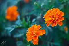 yellow 1 (Jamil-Akhtar) Tags: pakistan flower yellow 50mm bokeh f18 1850 islamabad canon5dmarkii meyeroptikoreston50mmf18