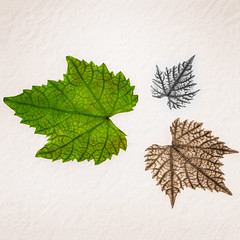 Three Leaves Three Colours (carlthompson921) Tags: white macro green leaves closeup composite blackwhite leaf flora soft fineart v veins sepiatone textured photoshopelements oldpaper indoorphotography 500px sigma50mmexdgmacro lightroom5 sonya77v leaves500px