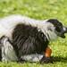 Lemurs Eating Meat Black And White Ruffed Lemur Eating Tambako The Jaguar Tags White