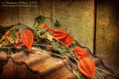 Weary Lanterns (sminky_pinky100 (In and Out)) Tags: wood autumn stilllife orange plant canada fall novascotia rusty textures indoors dying hdr chineselanternplant omot thecoloursofautumn cans2s thetangledgarden exhibitionoftalent imageexcellence masterclasselite masterclassexhibtion