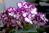 3983 (fpizarro) Tags: white flores flower minasgerais branco flor mg belohorizonte bh lilas fpizarro