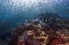 reefwschool3869 (gerb) Tags: blue school fish topv111 coral 1025fav 510fav mexico topv555 topv333 underwater topv999 scuba fv5 pi topv777 cortez f25 seaofcortez tvp aquatica d7000 sigma1017fe
