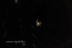 Itsy Bitsy Spider (emme wayak') Tags: canon insect 50mm spider cobweb araa insecto telaraa t2i