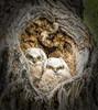Four Eyes (Jeff Clow) Tags: nature eyes wildlife owls grandtetonnationalpark owlets jacksonholewyoming ©jeffrclow dirtcheapphototours jeffclowphototour