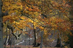 Autumn Leaves (haberlea) Tags: park autumn trees orange plants nature leaves yellow oak beech virginiawaterlake