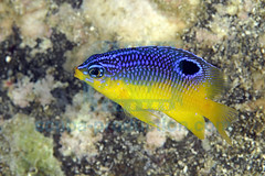 2008-10 HERBLAND MARTINIQUE COCOA DAMSELFISH STEGASTES VARIABILIS 0843