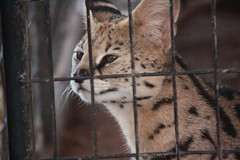 Looking Bored (Chicago John) Tags: world park cats oregon zoo great junction cave serval cavejunction greatcatsworldpark