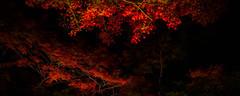 (watakkk) Tags: red tree japan garden japanese japanesemaple zen