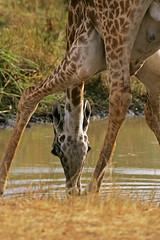 Down at the waterhole! (Rainbirder) Tags: kenya masaimara giraffacamelopardalistippelskirchi masaigiraffe rainbirder