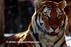 Belle Mazyria (Anna MariaP) Tags: animal tiger bigcat tigre flin flickrbigcats