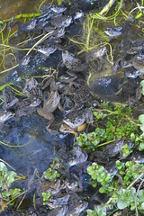common frogs spawning in garden pond (willjatkins) Tags: frog britishwildlife gardenwildlife ukwildlife ukreptilesandamphibians britishamphibiansandreptiles