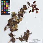 TULV17801 Eugenia procera (Sw.) Poir. thumbnail