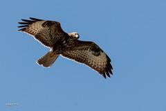 Buse variable (sfrancois73) Tags: oiseau faune busevariable