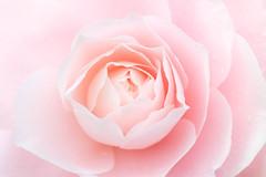 la douceur d'une caresse (christophe.laigle) Tags: rose dream xf60mm nature flower christophelaigle rêve fleur macro caresse pink camellia fuji douceur xpro2 camélia softness