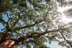 green veins (zenofar) Tags: nikon d810 tamron weitwinkel baum korkeiche laub äste blau sonne licht schatten braun natur wideangle tree cork oak leaves branches blue sun light shadow brown nature portugal algarve monchique