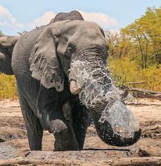A big squirt (rachelsloman) Tags: elephant squirt water trunk kwai botswana