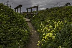Bluff Trail (gr7361) Tags: beanhollowstatepark ocean trail visipix flowers bridge california sanmateo coast
