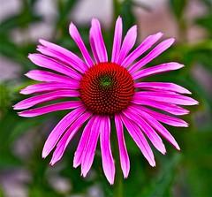 Happy Birthday  7 Days with Flickr! (Dee Gee fifteen) Tags: 7dwf happybirthday7dwf happycrazysunday coneflower macro echinacea flower