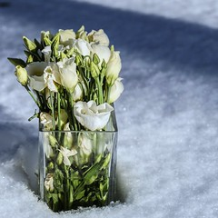 Snow and roses (evaeblonski) Tags: