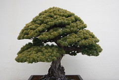 Bonsai, National Arboretum 127521 (thw05) Tags: art bonsai dc nature northamerica penjing people places thwilliamsphotography thomashwilliams thwphotoscom trees usnationalarboretum us usa washington tree plant