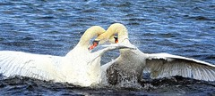 Clash of the Titans (xDigital-Dreamsx) Tags: swan water waterway waterbird waterfowl lake nature wildlife river rural white orange scotland loch mute texture splash fight rut