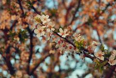 Blossom (Sareni) Tags: sareni serbia srbija vojvodina banat juznibanat alibunar brigadirska blossom blossoms cvet pupoljak drvo tree grana branche colors boje light svetlost spring prolece march 2017 twop