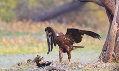 Greater Spotted Eagle with a Coot Kill (IQBALSIDDIQUI) Tags: greater spotted eagle bharatpur iqbalsiddiqui hunt coot kill natgeo bbcearth birds4all birdphotography clanga clangaclanga