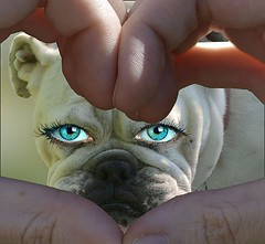Peek A Boo (swong95765) Tags: dog bulldog expression eyes nose white cute bokeh look see heart fingers