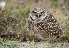Burrowing Owl (Nick Scobel) Tags: burrowing owl athene cunicularia florida endangered raptor burrow threatened species broward