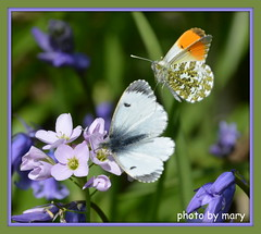 BUTTERFLIES IN THE BLUEBELL WOOD (maryimackins) Tags: orange tip butterfly bluebell wildlife mary mackins