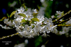 Fleurs ( photopade (Nikonist)) Tags: fleurs nature nikond300 couleurs affinityphoto imac apple