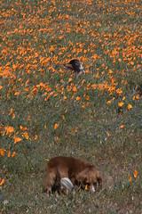 Poppies (13) (Feddal Nora) Tags: poppyreserve poppyreservenorafeddalcalifornia flower dog witch sorciere chien poppies coquelicot purple orange poppy antelope valley california reserve antelopevalleycaliforniapoppyreserve purplelacyphacelia canon