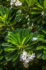 Brand New Set of Rules (Thomas Hawk) Tags: fairmont fairmontkealani fairmontkealaniresort hawaii hotel kealani maui plumeria wailea flower tree fav10
