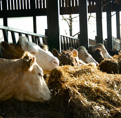 Cows at High Rigg Farm (Emma Greveson) Tags: animalphotography animal cow farm farming camping lake forest dalbyforest photography landsape