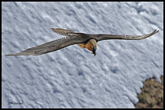 Gypaète 170407-00-P (paul.vetter) Tags: oiseau ornithologie ornithology faune animal bird gypaètebarbu gypaetusbarbatus bartgeier quebrantahuesos beardedvulture vautour rapace