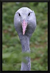 Paradieskranich / Anthropoides paradisea (Martin Volpert) Tags: mavo43 paradieskranich gruiformes gruidae anthropoides vogelparkuckersdorf vogel kranich