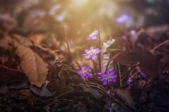 * (clo dallas) Tags: macro flowers fiori blossom fioritura spring primavera light sunray forest bosco wald blumen sottobosco underwood wood leaves anemones 100mm canon 5dmarkiii nature