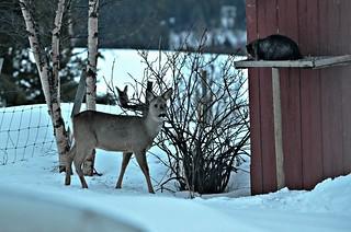 Bambi meets BobKatt